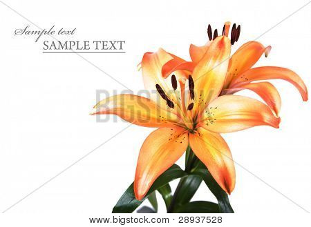 Orange und gelb Lillies on a white Background with Space for text
