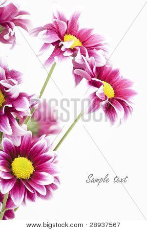 Dark pink daisies on a white background