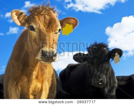 a Brown and a black cow looking at the camera with curiosity