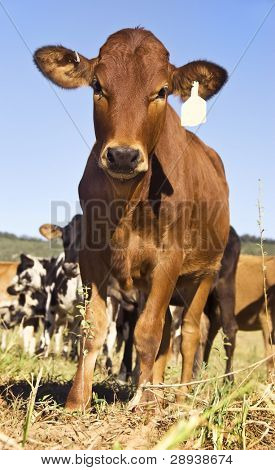 Curios young cow in a farm field