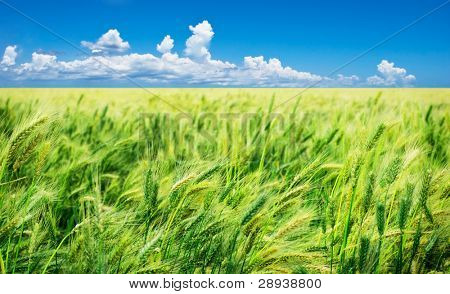 Beautiful green wheat field blown by wind against blue sky and clouds