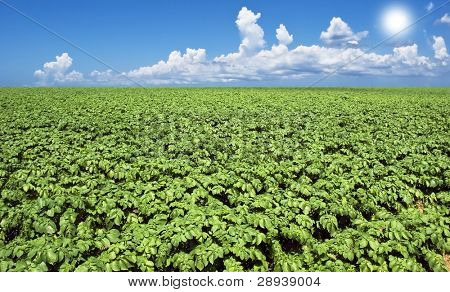 Green potato field