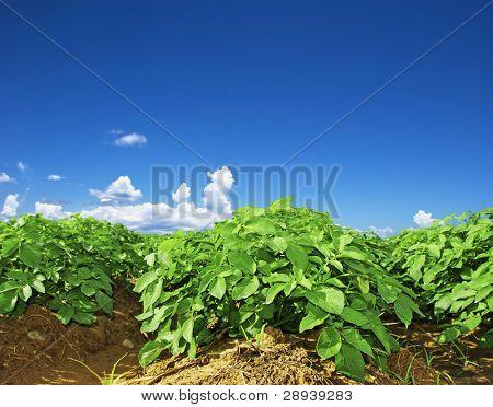 Cerca de un campo de patatas