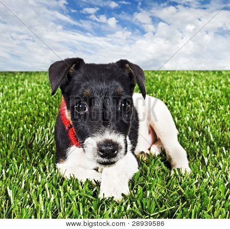 a Cute young pure bred fox terrier dog lying on grass