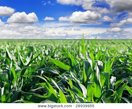 Green maize field with dramatic sky