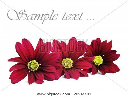 Red chrysanthemum flowers on a white background with space for text - shallow depth of field and focus on the middle flower
