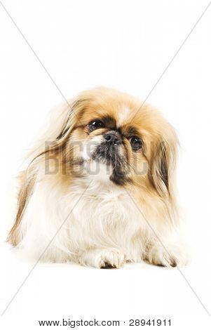 Um fundo branco com espaço para texto de Cães pequinês