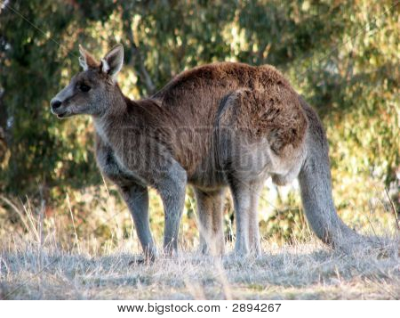 Australian Grey Kangaroo In The Tidbinbilla Nature Reserve, Canberra