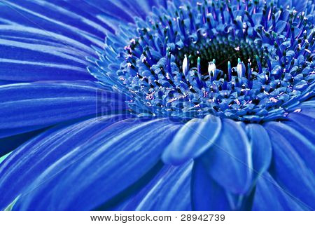 Close up of a blue daisy gerbera