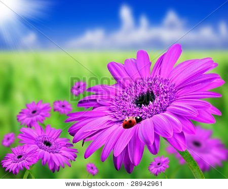 Field of daisy gerbera flowers with a lady bird on the front flower