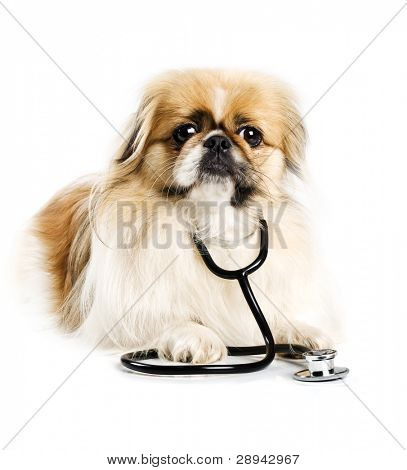 Pekingese dog with a doctor's stethoscope on a white background with space for text