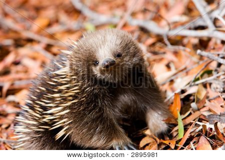 Echidna In A Forest , Tasmania