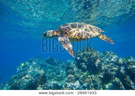 Green Sea Turtle, Baden im Meer Ozean