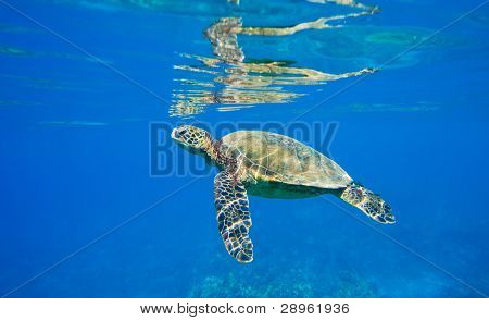 green sea turtle swimming in ocean sea