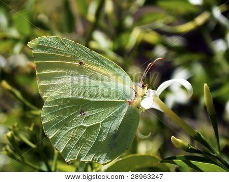 Butterfly Gonepteryx