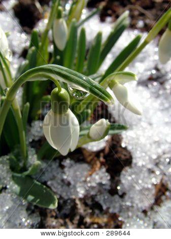 Snowdrop Whit Drop