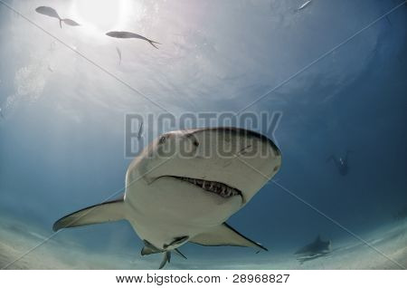 Quirky Shark
