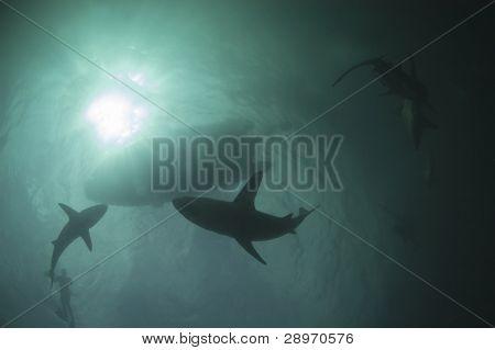 Actividad de tiburón