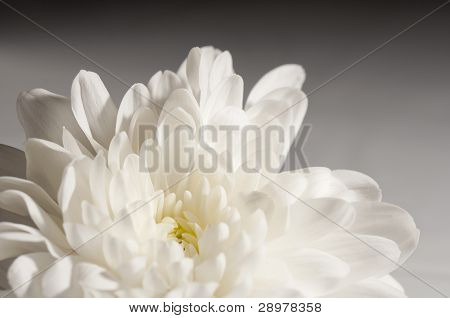 Black and white chrysanthemum