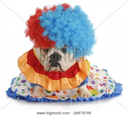 silly dog - english bulldog dressed up like a clown