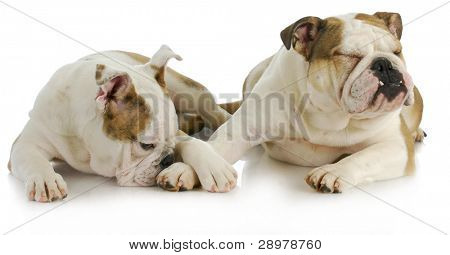 animal behaviour - two english bulldogs laying down on white background