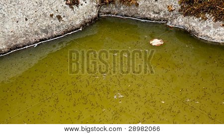 Mosquito Larva In Water