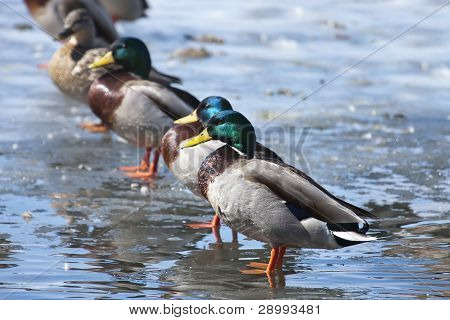 Mallard Ducks Lined Up.