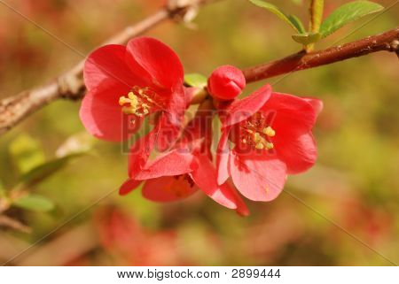 Quince Chaenomeles