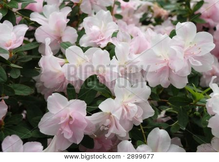 Pink-Pale Flowers Of Azalea And Green Leaves, Close-Up