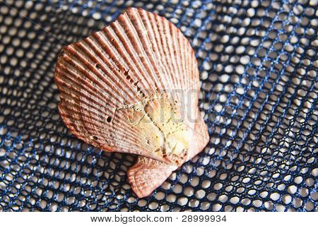 Fan-Shaped Shell