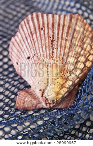 Old Sea Shell On Net