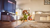 Dog Beagle Fetching A Green Rope Indoors. poster
