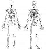 stock photo of skeleton  - Medically accurate line drawing of a human skeleton - JPG
