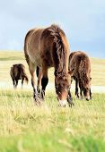 stock photo of devonshire  - Wild Exmoor Ponies grazing - JPG