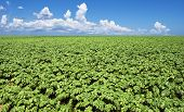 picture of potato-field  - a Green potato field - JPG
