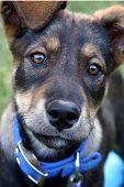 stock photo of cute dog  - a cute head shot of a german shepherd puppy - JPG