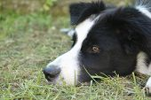 Close-up Of The Snout Of A Young Border Collie, Animals And Nature poster