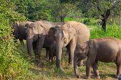 Wild Elephants Eating Grass, Hurulu Eco Park, Sri Lanka.hurulu Eco Park Is A Huge Area Of Forest, Gr poster