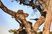 At Sunset A Leopard In A Tree Looks Out While Devouring Its Prey Before Scavengers Arrive poster
