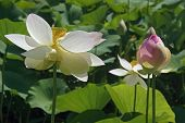 Sacred Lotus Flower And Bud. poster