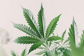 Marijuana Leaves On Light, Hemp Marijuana Cbd, Indoor Grow Cannabis Indica, White Background Cultiva poster