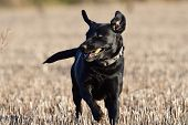 Portrait Of A Young Black Labrador Retriever Running Across A Field poster