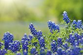 Texas Bluebonnet (lupinus Texensis) Flowers Blooming In Springtime. Selective Focus. Natural Geen Ba poster