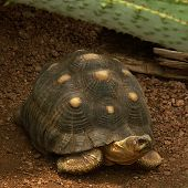 pic of the hare tortoise  - This is an image of a small land tortoise - JPG