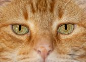 Close-up image of a ginger tabby cats eyes, with an serious stare at the viewer poster