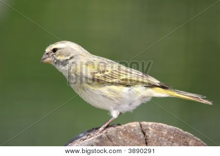 Wild Yellow Canary