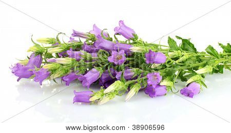 blue bell flowers isolated on white
