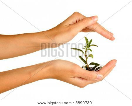 woman's hands are holding a money tree on white background close-up