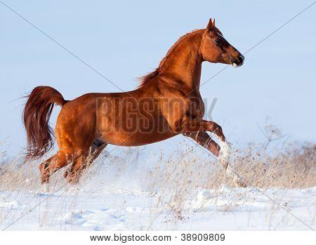 Arabian chestnut horse running in winter