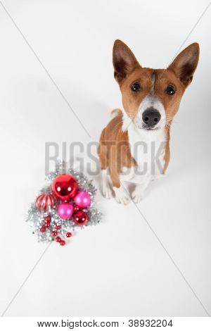 Basenji looking up